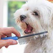 Combing Beards Of The White Dog Art Print