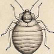 Common Bedbug, Cimex Lectularius Art Print