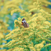 Common Buckeye Butterfly Hides In The Goldenrod Art Print