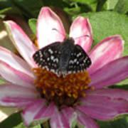 Common Checker Butterfly Art Print