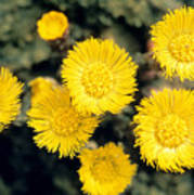 Common Coltsfoot  Art Print
