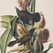 Common Crow Art Print
