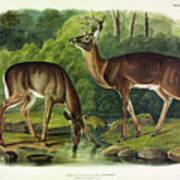 Common Deer Art Print