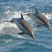 Common Dolphins Leaping Print by Tim Melling