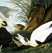 Common Eider, Eider Duck Art Print