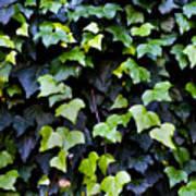 Common Ivy Art Print