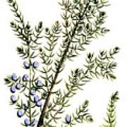 Common Juniper Alchemy Plant Art Print