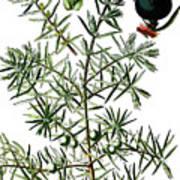 common juniper, Juniperus communis Art Print