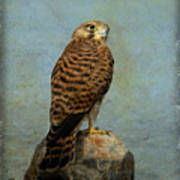 Common Kestrel Art Print