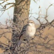 Common Mockingbird Art Print