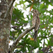 Common Potoo Costa Rica Art Print