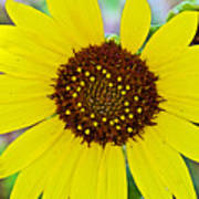Common Sunflower In Northwest North Dakota Art Print