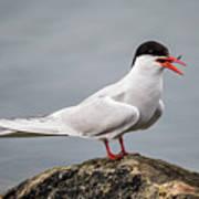 Common Tern Art Print
