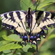 Common Yellow Swallowtail Art Print