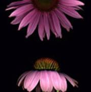 Cone Flowers Art Print
