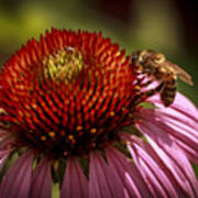 Coneflower Bee Art Print