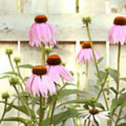 Coneflower Patch Art Print