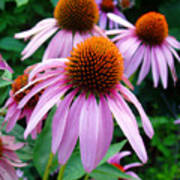 Three Coneflowers  Art Print