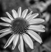 Conehead Daisy In Black And White Art Print