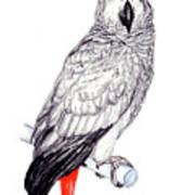 Congo African Grey Parrot Art Print