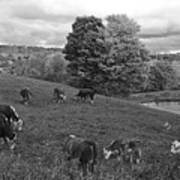 Congregating Cows. Jenne Farm Cow Reading Vermont Black And White Art Print