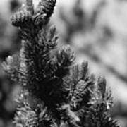 Conifer Art Print