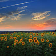 Connecticut Sunflowers In The Evening Art Print