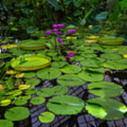 Conservatory Waterlilies Art Print