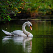 Contemplating Swan Art Print