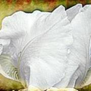 Contemporary White Iris Art Print