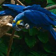 Contorted Parrots Art Print