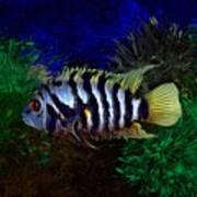 Convict Cichlid Fish Art Print
