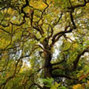 Coole Park Tree Galway Ireland Art Print