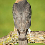Cooper's Hawk In The Backyard Art Print