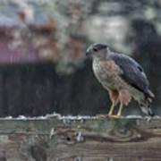 Cooper's Hawk In The Rain Art Print