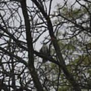 Cooper's Hawk Perched In Tree Art Print