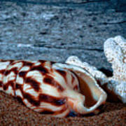 Coquina Shell Art Print