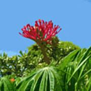Coral Bush Jatropha Multifida With Flower And Fruit Art Print