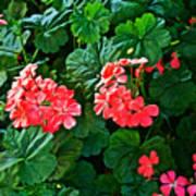 Coral Geraniums At Pilgrim Place In Claremont-california   Art Print