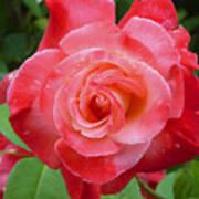 Coral Rose Art Print