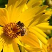 Coreopsis Beauty And The  Bee. Art Print