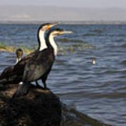 Great Rift Cormorants Art Print