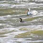 Cormorant And Pelican Art Print