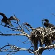Cormorant Teenager In Nest Begging For Food Art Print