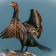 Cormorant Wings Art Print