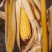 Corn Cobb On Stalk Art Print