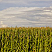 Corn Field In Sunset Art Print