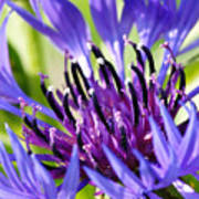 Corn Flower 3 Art Print