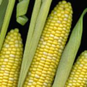 Corn On The Cob I  Art Print