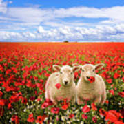 Corn Poppies And Twin Lambs Print by Meirion Matthias